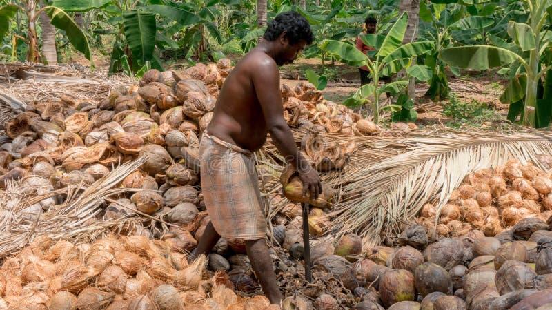 Coimbatore, Tamil Nadu/India April-11-2019 il processo di sbucciatura della noce di cocco è fatto da un agricoltore fotografie stock