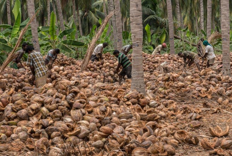 Coimbatore, Tamil Nadu/la India April-11-2019 el proceso de descortezamiento del coco es hecho por muchos trabajos de granja imagen de archivo