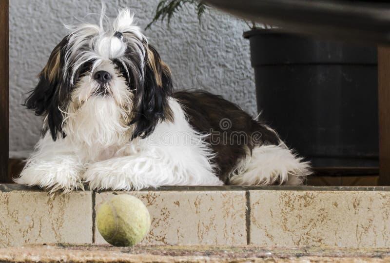 Coisas de espera do cão de Shih-tzu a acontecer imagem de stock royalty free