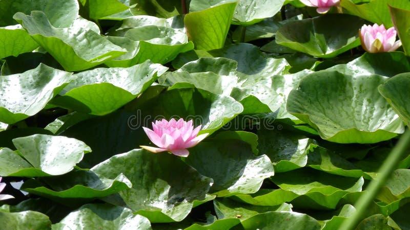 cojines de lirio con la flor rosada foto de archivo