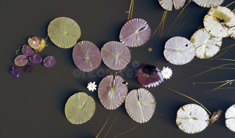 Cojines de lirio en la laguna de Leichhardt imagen de archivo libre de regalías