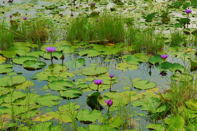 Cojines y flores de lirio de agua en el lago oscuro imagen de archivo