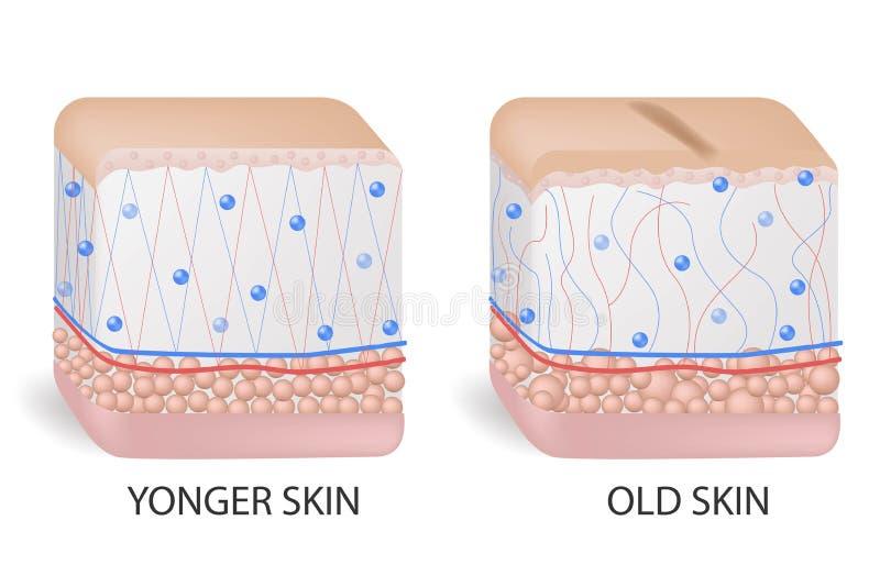 Colágeno y elastine Una piel más joven y más vieja Representaci?n visual de los cambios de piel sobre un curso de la vida Colágen stock de ilustración