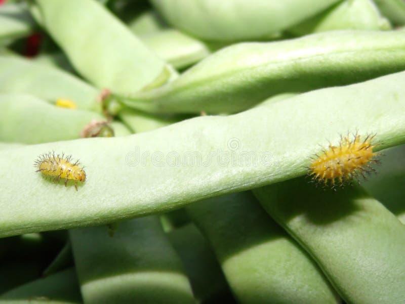 Coléoptère d'haricot mexicain, varivestis Mulsant d'Epilanchna image libre de droits