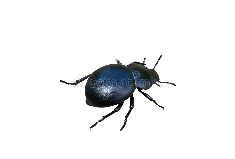 Coléoptère de fumier d'insecte photos stock