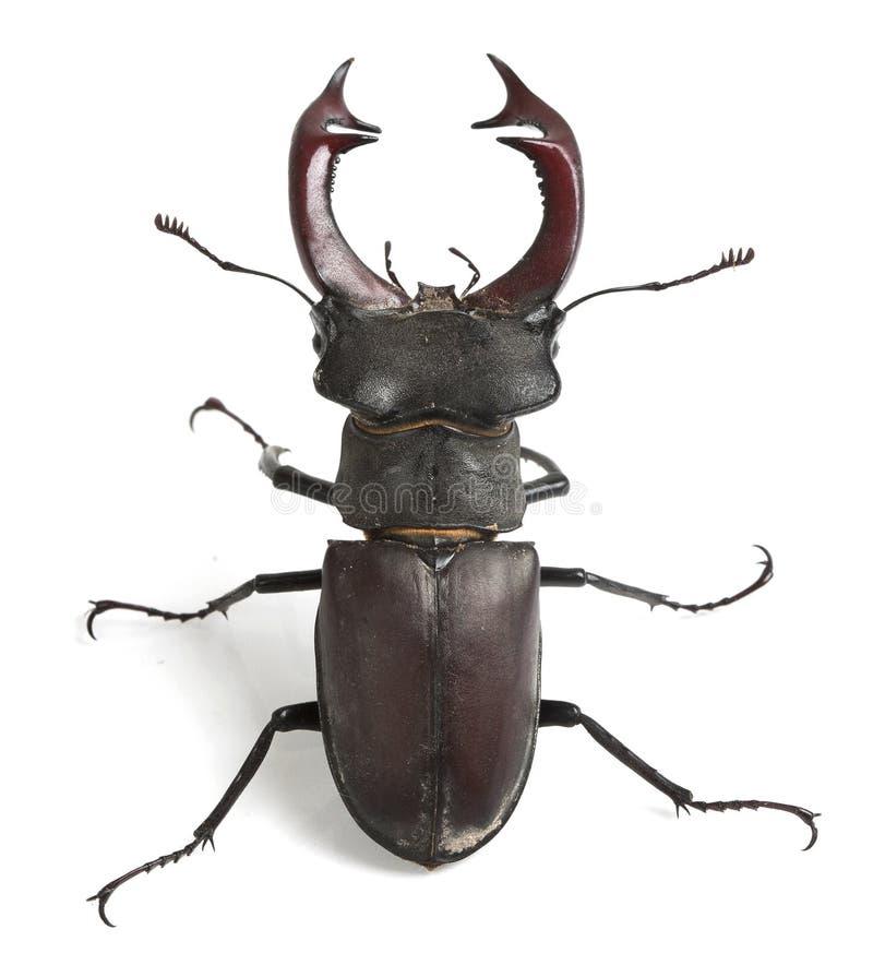 Coléoptère de mâle images stock