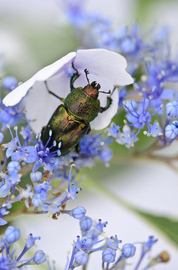 Coléoptère de scarabée sur le hydrangea de lacet-capuchon images stock