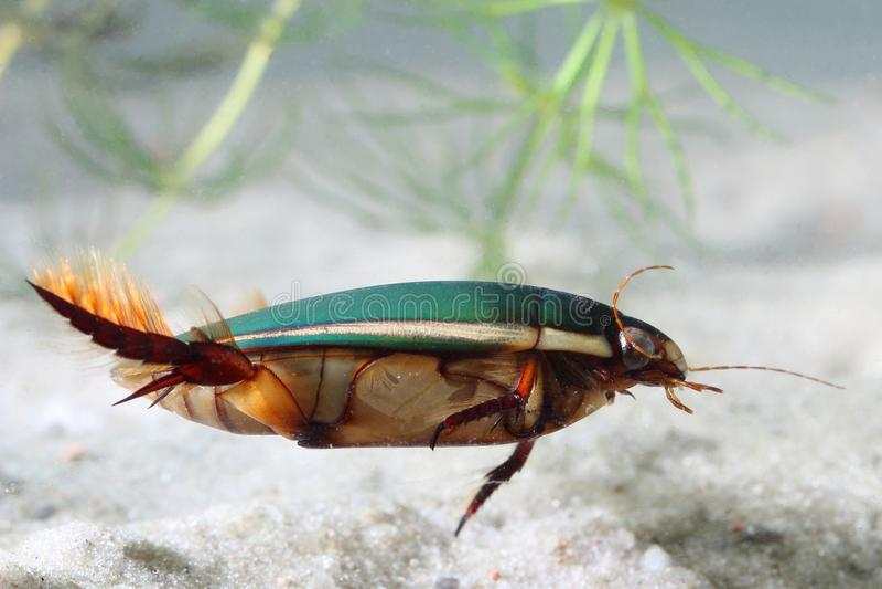 Coléoptère grand de plongée (marginalis de Dytiscus)   photos stock