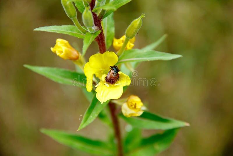 Coléoptère sur la fleur jaune image libre de droits