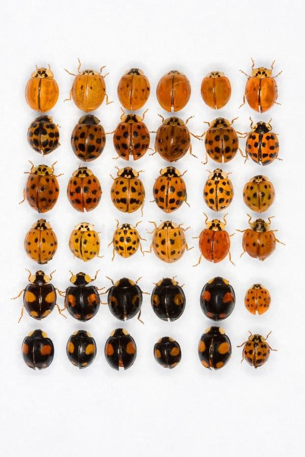 Coléoptères de dame asiatiques multicolores images libres de droits