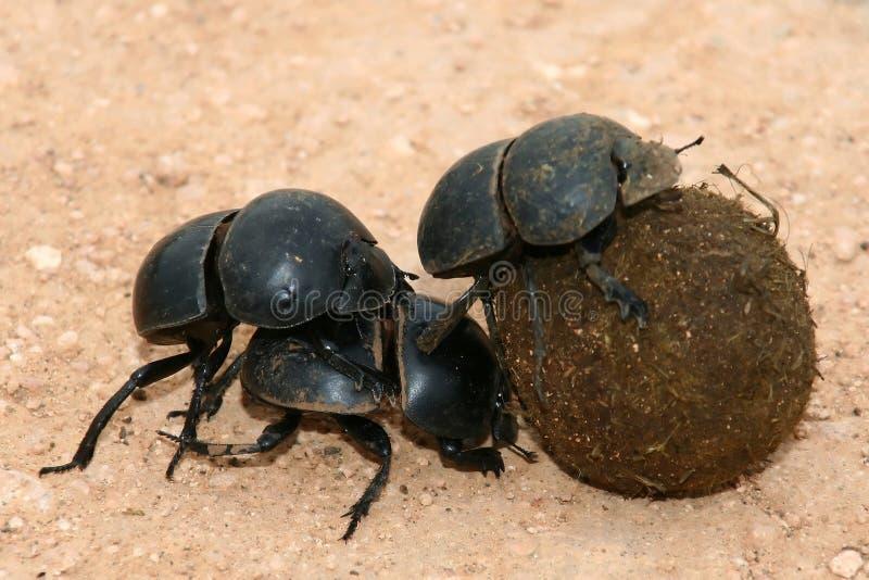 Coléoptères de fumier incapables de voler photos libres de droits