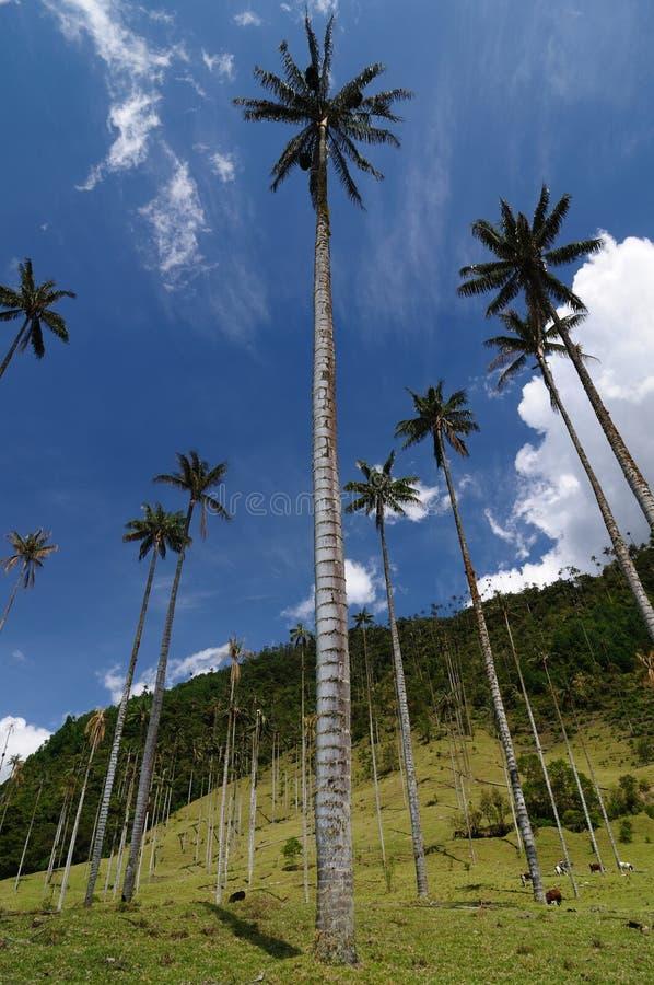 Colômbia, palmeiras da cera do vale de Cocora fotografia de stock