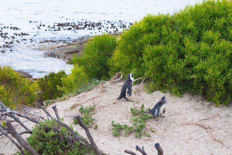 A colônia africana do pinguim na península do cabo em pedregulhos encalha, a cidade de Simon, província de cabo ocidental, distri foto de stock royalty free