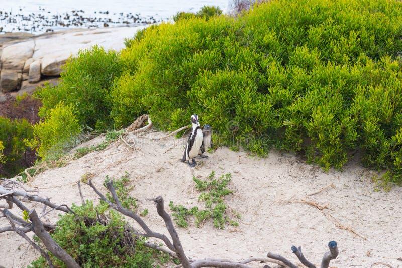 A colônia africana do pinguim na península do cabo em pedregulhos encalha, cidade do ` s de Simon, província de cabo ocidental, d fotografia de stock royalty free