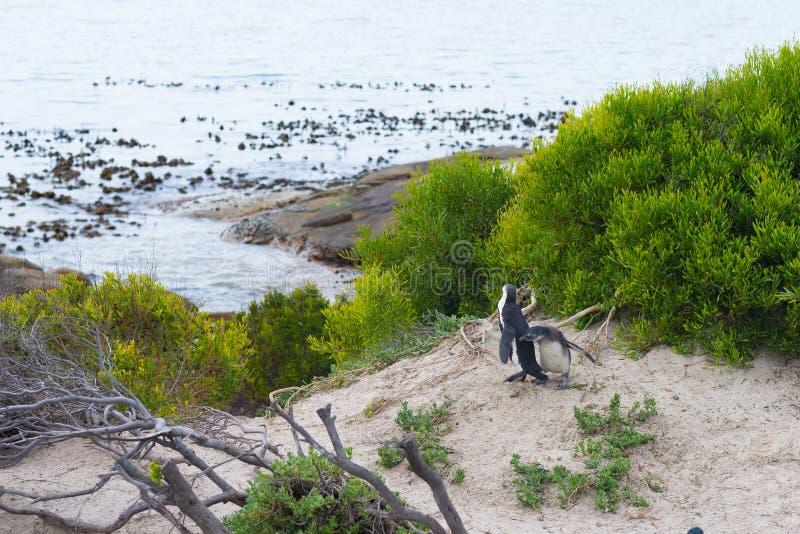A colônia africana do pinguim na península do cabo em pedregulhos encalha, cidade do ` s de Simon, província de cabo ocidental, d fotos de stock royalty free