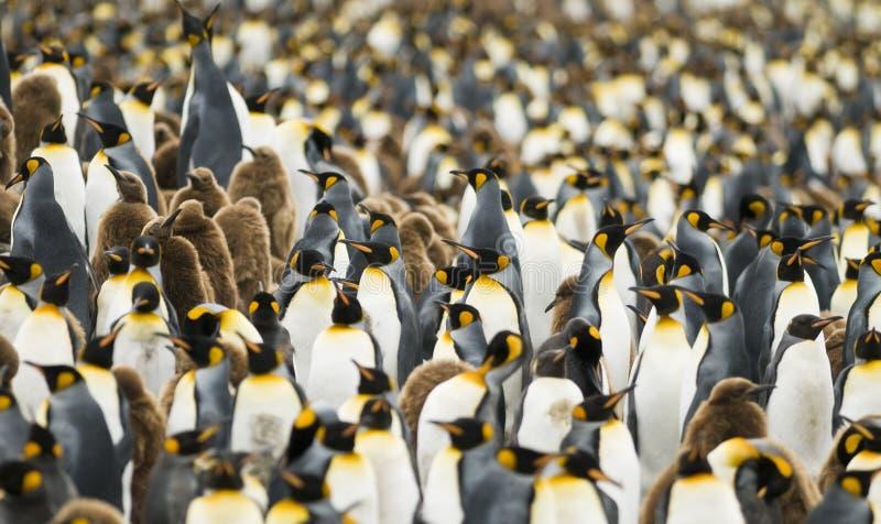 Colônia aglomerada do rei pinguim foto de stock