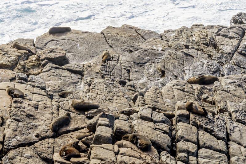 Colônia bonita de leões de mar no parque nacional da perseguição do Flinders, ilha do canguru, Austrália do sul imagem de stock royalty free