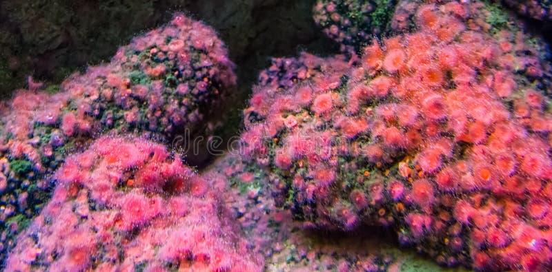 Colônia bonita do rosa e das anêmonas de Mar Vermelho em rochas, fundo da vida marinha imagens de stock