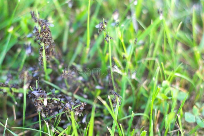 Colônia da formiga dirigida por mudanças das abelhas-mestras seu lugar de residência imagem de stock