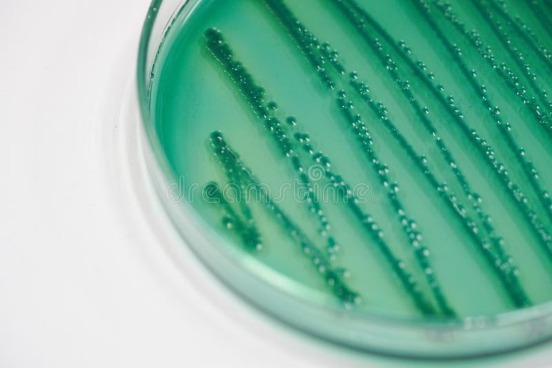 Colônia das bactérias na placa do meio de cultura imagens de stock royalty free