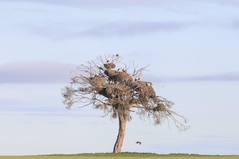 Colônia das cegonhas em um pinho imagem de stock royalty free