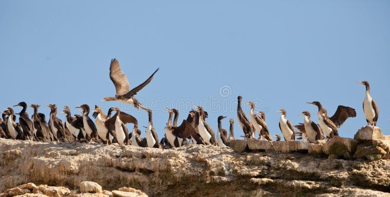 Colônia de Cormorants de Neotropical foto de stock royalty free