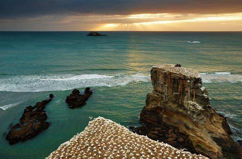 Colônia de Gannet, Nova Zelândia fotos de stock
