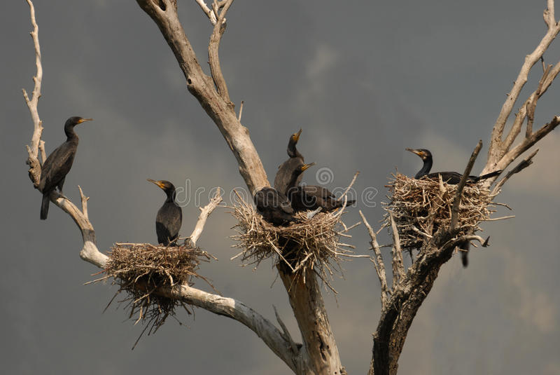 Colônia de grandes cormorants foto de stock