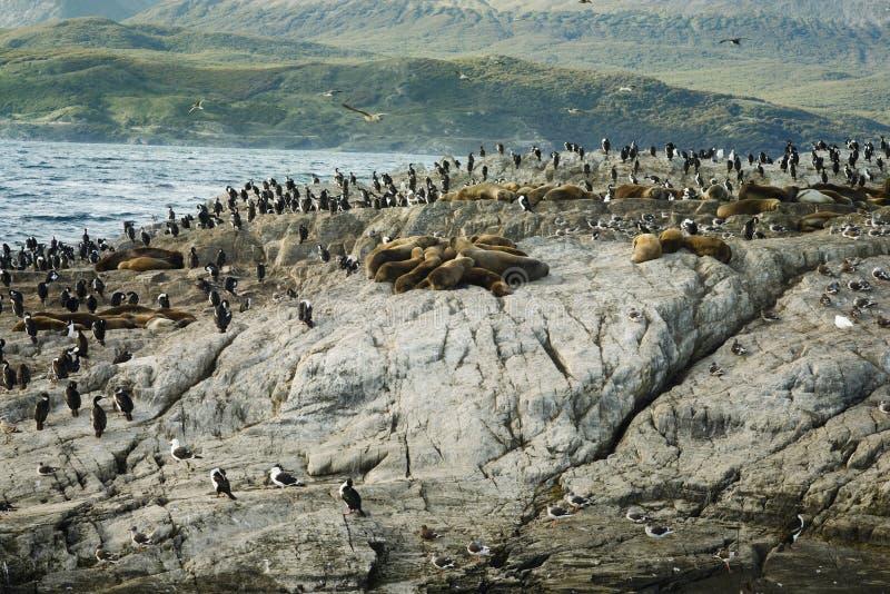 Colônia de leões de mar e de rei Cormorants Resting On um Islan pequeno imagem de stock