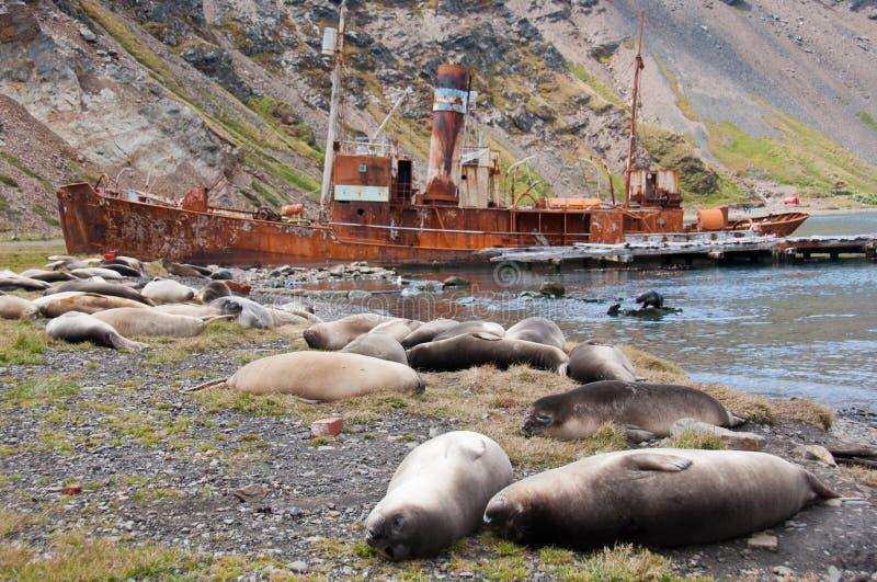 Colônia de selo do elefante e navio de baleação velho foto de stock royalty free