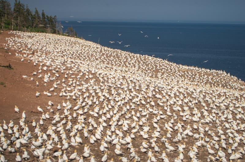 Colônia do norte do bassanus do Morus do albatroz no montanhês fotos de stock royalty free