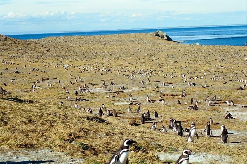 Colônia do pinguim fotografia de stock
