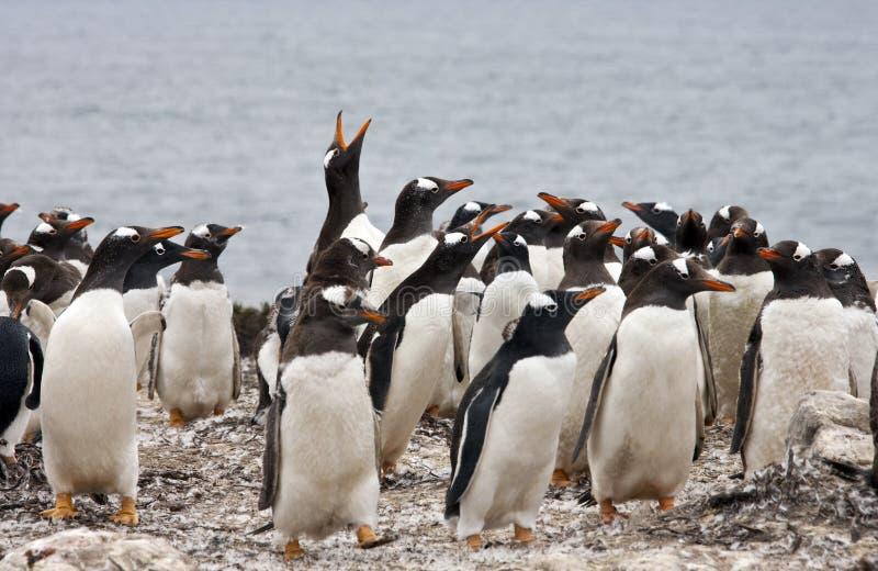 Colônia do pinguim de Gentoo - Ilhas Falkland fotos de stock royalty free