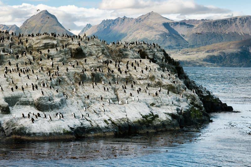 Colônia do rei Cormorants em uma ilha pequena, canal do lebreiro, Tierra Del Fuego imagem de stock royalty free