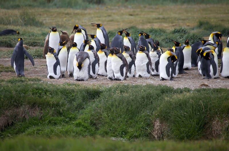 Colônia do rei Penguin na baía de Inutil em Tierra del Fuego, o Chile imagens de stock royalty free