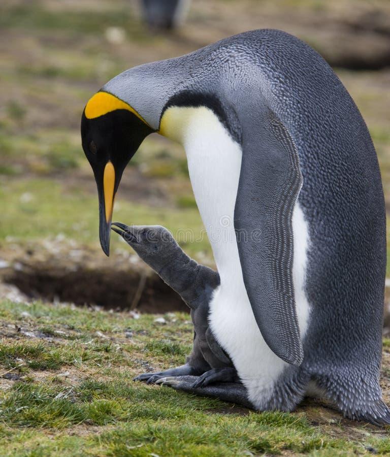 Colônia do rei pinguim - Ilhas Falkland imagens de stock