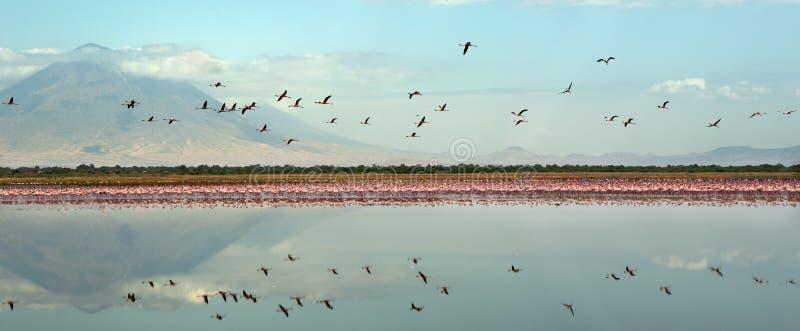 Colônia dos flamingos no lago Natron imagem de stock