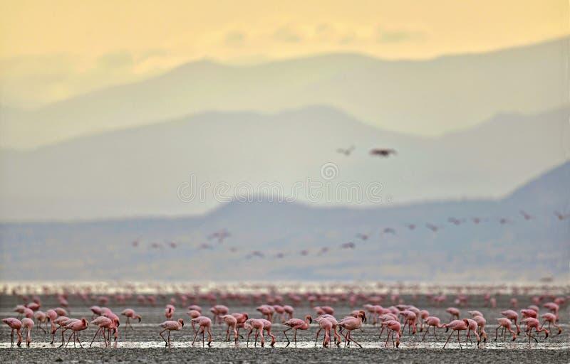 Colônia dos flamingos no lago Natron fotos de stock royalty free