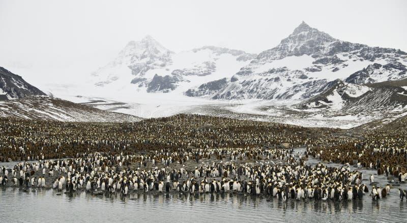 Colônia enorme do pinguim. imagem de stock