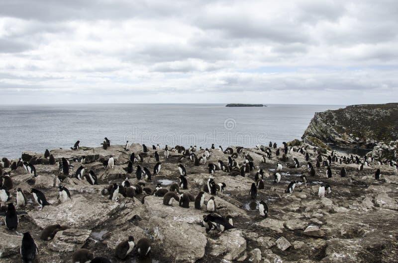 COLÔNIA ILHAS FALKLAND DO PINGUIM DE ROCKHOPPER fotos de stock