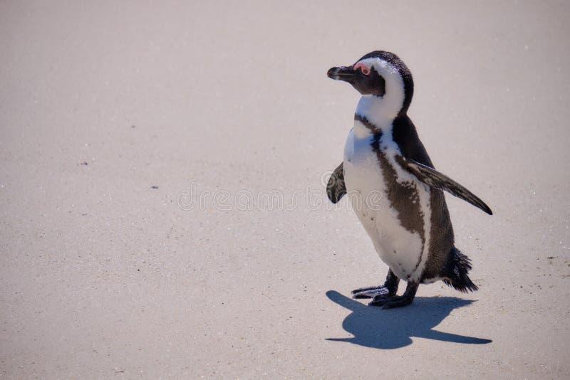 Colônia mais corajosa do pinguim imagens de stock