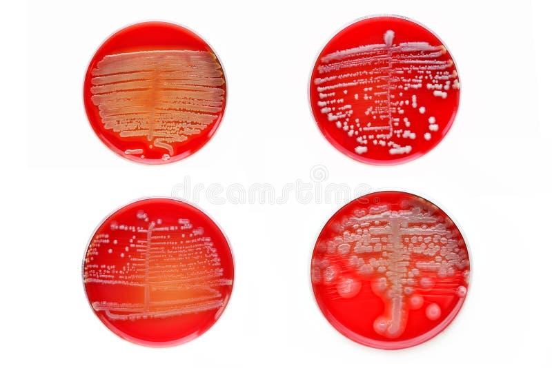 Colônias das bactérias imagem de stock royalty free