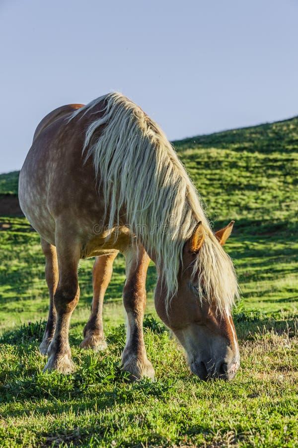 """Col d """"Aubisque de cheval de Haflinger dans les Pyrénées français image libre de droits"""