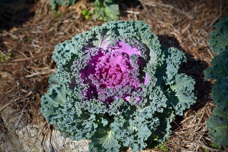 Col duradera orgánica en el jardín con luz del sol fotografía de archivo