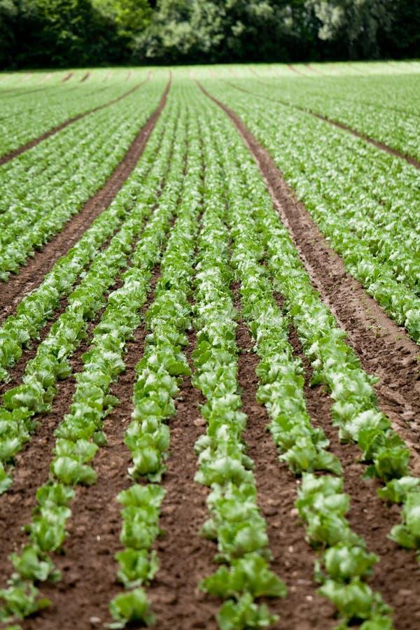 Col fresca de la ensalada verde en agricultura del verano del campo imagenes de archivo