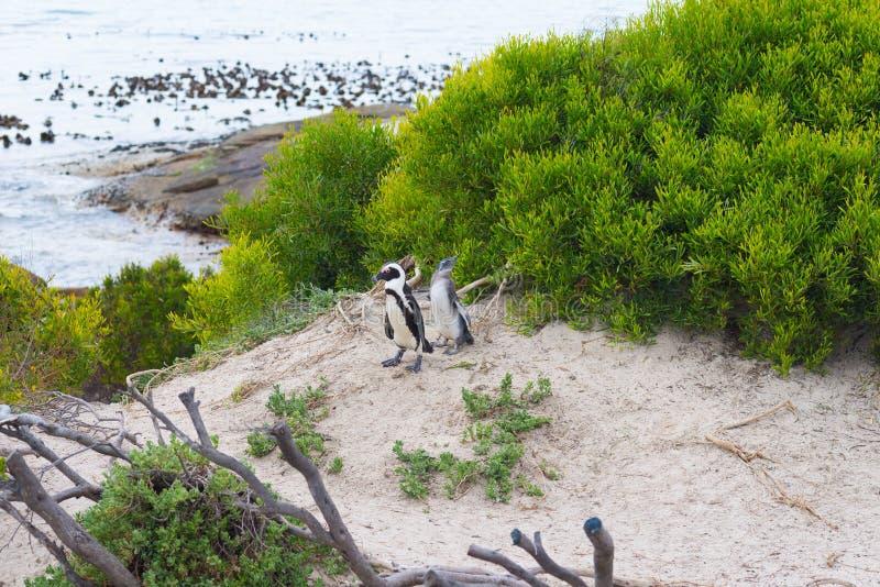 A colônia africana do pinguim fotos de stock royalty free