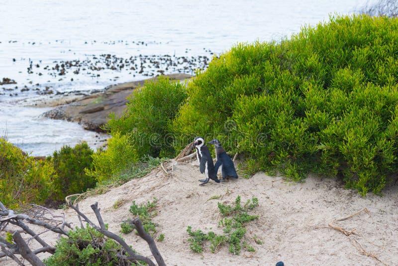 A colônia africana do pinguim na península do cabo em pedregulhos encalha, cidade do ` s de Simon, província de cabo ocidental, d imagens de stock