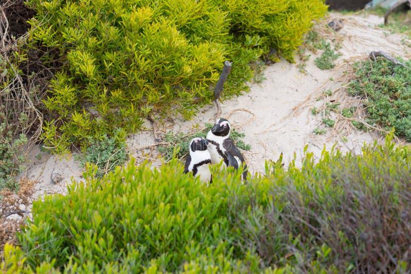 A colônia africana do pinguim na península do cabo em pedregulhos encalha, cidade do ` s de Simon, província de cabo ocidental, d fotos de stock