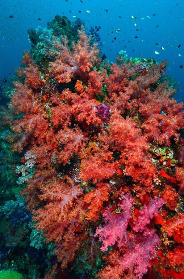 Colônia coral macia fotografia de stock royalty free