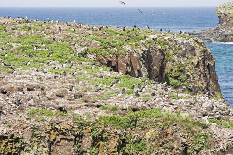 Colônia da ave marinho do papagaio-do-mar em Terra Nova fotos de stock